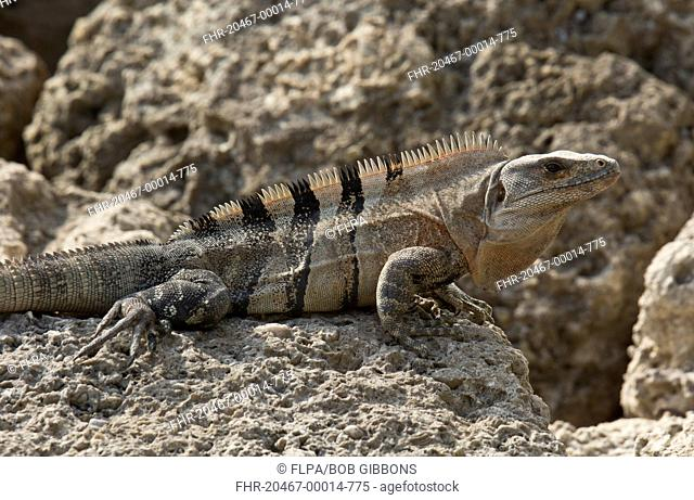 Black Spiny-tailed Iguana (Ctenosaura similis) introduced species, adult, resting on rocky foreshore, Florida, U.S.A., February