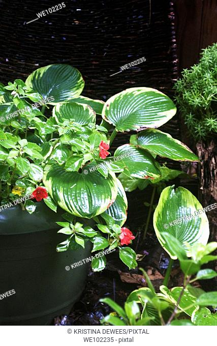 Variegated Hosta and red Impatients in a planter