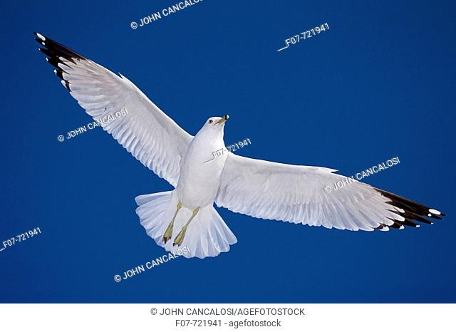 Ring-billed Gull (Larus delawarensis) - New York - USA - Adult soaring - Most commonly seen gull -  especially inland