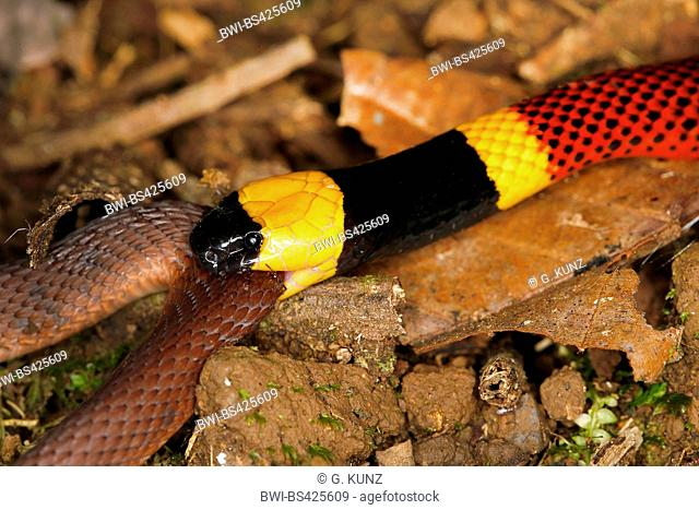 Costa Rican Coral Snake (Micrurus mosquitensis), bites another snake, Costa Rica