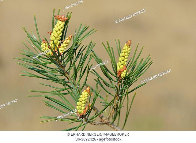 Pollen cones of a Scots Pine (Pinus sylvestris), Emsland, Lower Saxony, Germany