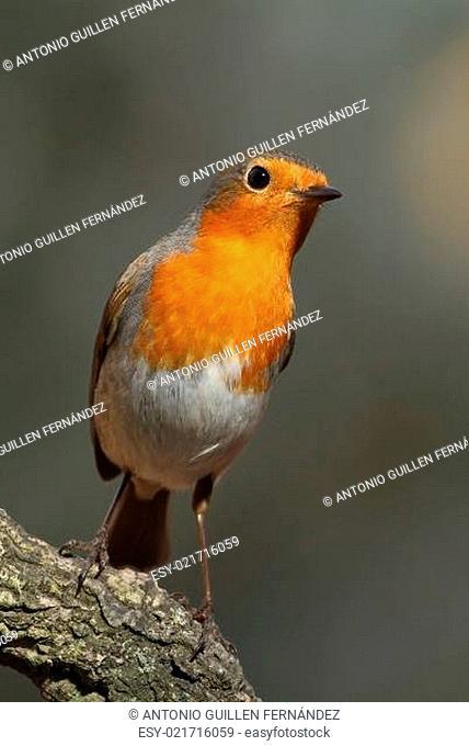 Erithacus rubecula robin