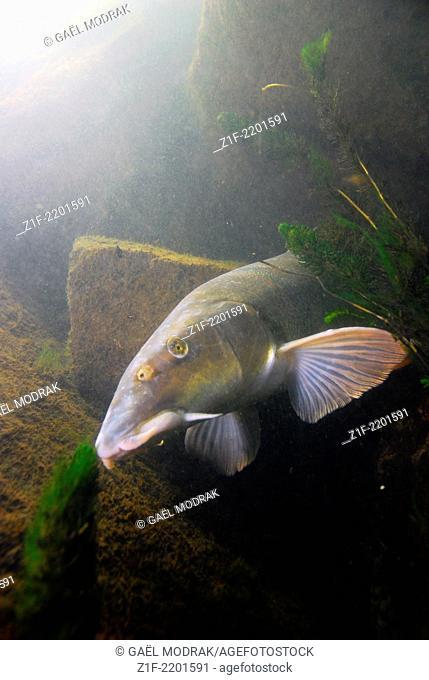 Barbel in the Rhône river in France. Barbus barbus