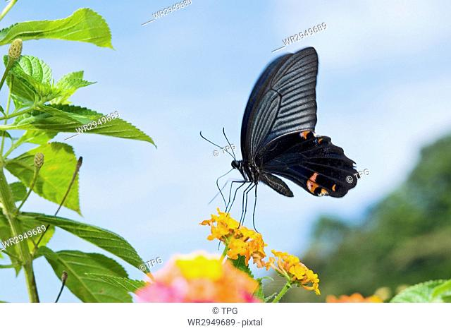 Swallowtail butterfly feeding on orange flowers