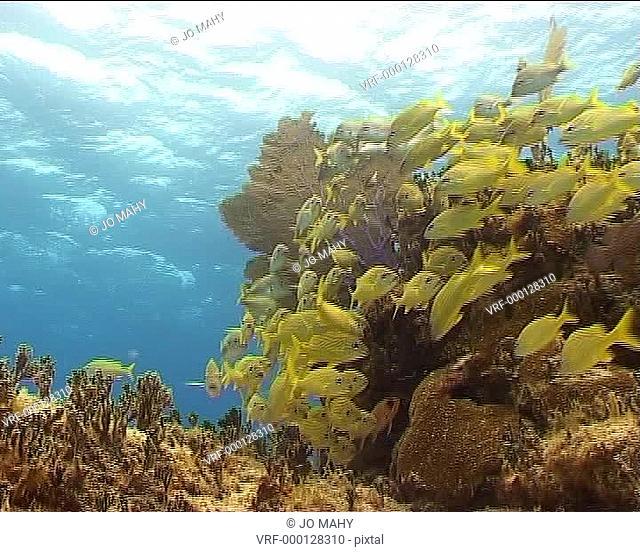 Grunts swaying . Bahamas, Atlantic Ocean