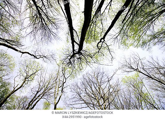 Canopy of broad-leave Forest in Spring, Osa Valley, Kujawy