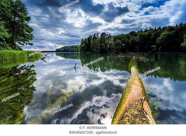 fallen tree in lake Stechlin with thundersorms clouds, Germany, Brandenburg, Stechlinsee