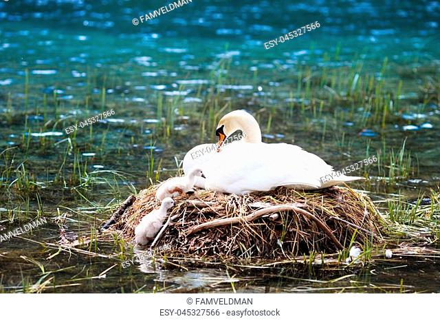 Swan nest in Austrian Alps mountain lake. Mother bird with little baby learning to swim. Wild swans during spring time
