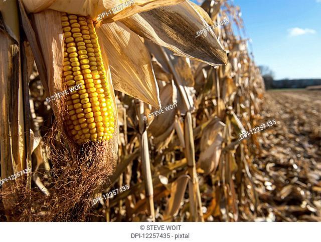 Corn harvesting; Savage, Minnesota, United States of America
