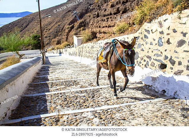 The famous Donkey that carry tourists up and down the stairs that leads to the tourist boats in Oia, on the Cyclads island, in Santorini, Greece