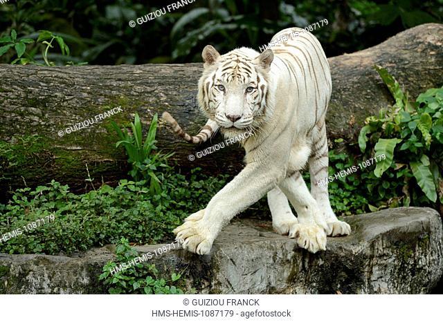 Singapore, Singapore Zoo, white tiger (or Bengal tiger)