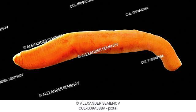 Nemertina, Ribbon worm