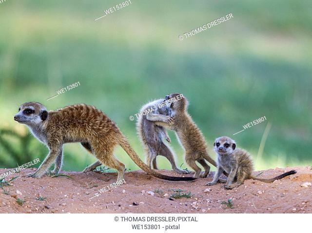 Suricate (Suricata suricatta). Also called Meerkat. Female with three playful young in the evening at their burrow. During the rainy season in green...