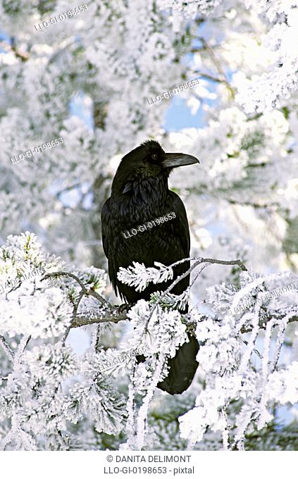Common raven sitting on frozen branch, Yellowstone National Park, Wyoming, USA