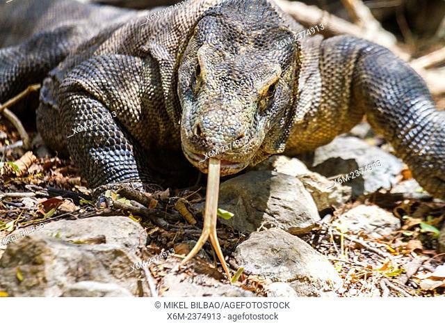 Komodo dragon (Varanus komodoensis). Rinca island. Komodo National Park. Indonesia, Asia