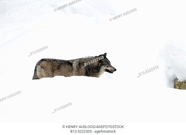 Grey Wolf in the snow (Canis lupus)