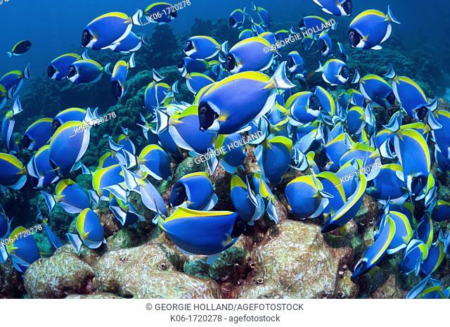 Powder-blue surgeonfish Acanthurus leucosternon, large school feeding on algae on coral boulders  Andaman Sea, Thailand