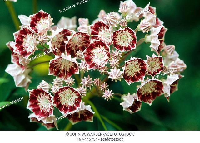 Mountain Laurel (Kalmia latifolia var. 'Bullseye') hybrid species. Ashland, Oregon, USA