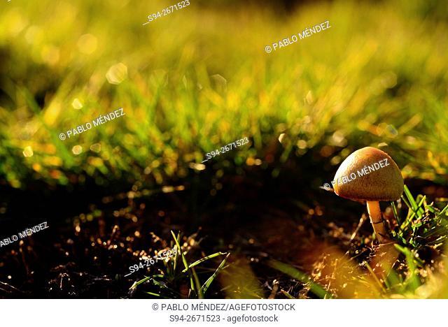 Mushroom in El Baden, Bustarviejo, Madrid, Spain
