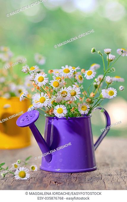 Marguerite Daisy Flowers in small bucket