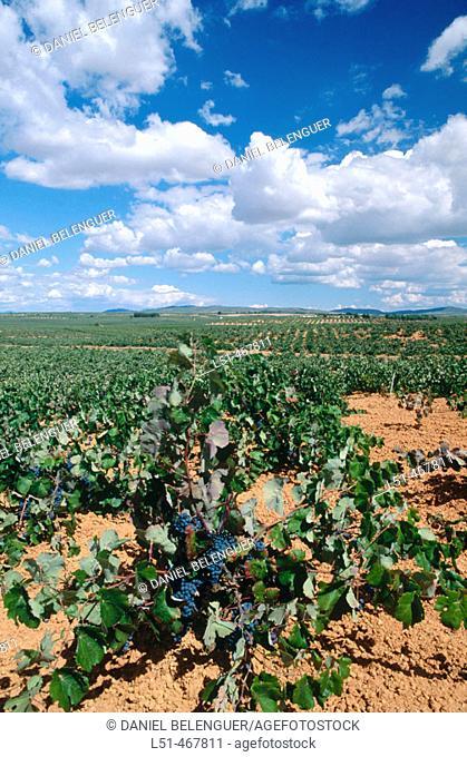 Vineyards. Villagordo del Cabriel. Plana Requena. Utiel. Valencia province. Spain