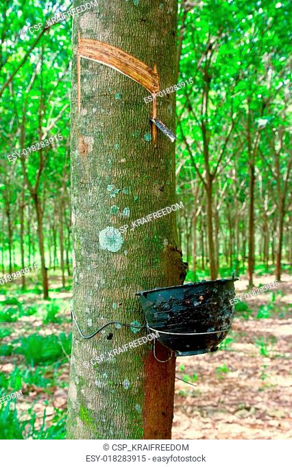 Rubber flows from the rubber tree into the cup