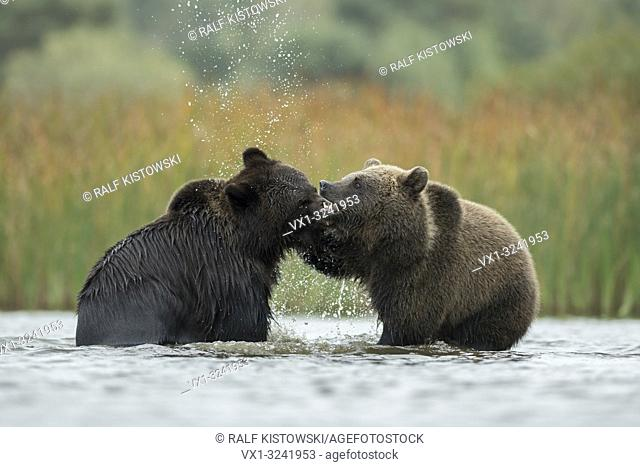 Eurasian Brown Bears / Braunbaeren ( Ursus arctos ) fighting, baring their teeth, fight, wrestle between two adolescents in the shallow water of a lake, Europe