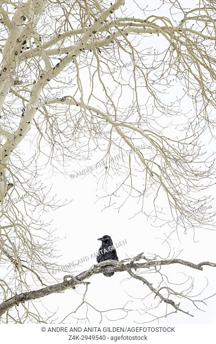 Common raven (Corvus corax) perched in tree during blizzard in winter, Yellowstone national park, Wyoming, Montana, USA