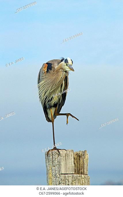 Great Blue Heron Ardea herodiasperched on post preening Fort Myers beach Gulf Coast Florida USA