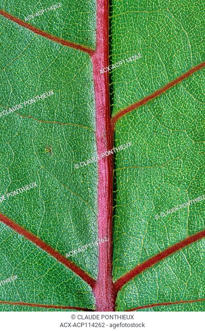 Detail of an Eastern Cottonwood leaf, Sherbrooke, Québec, Canada