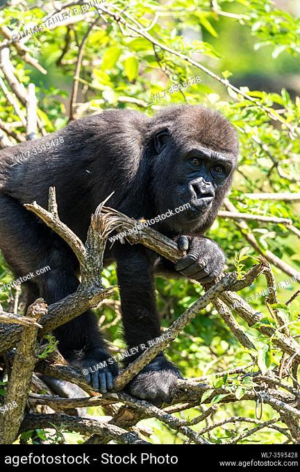 Captive immature Western Lowland Gorilla (Gorilla gorilla gorilla) climbing tree, Bristol UK. August 2019