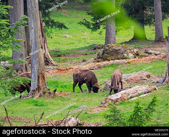 Wisent or European Bison (Bison bonasus, Bos bonasus). Enclosure in the National Park Bavarian Forest, Europe, Germany, Bavaria