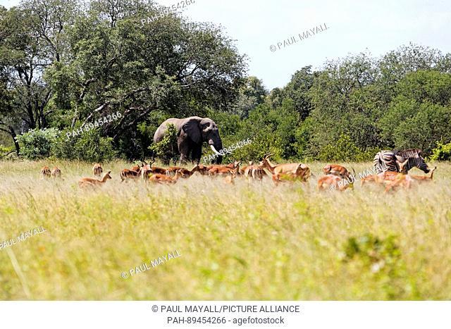 Elephant ( Loxodonta africana ) with Impala and Zebra, Kruger National Park, South Africa   usage worldwide. - /South Africa/South Africa