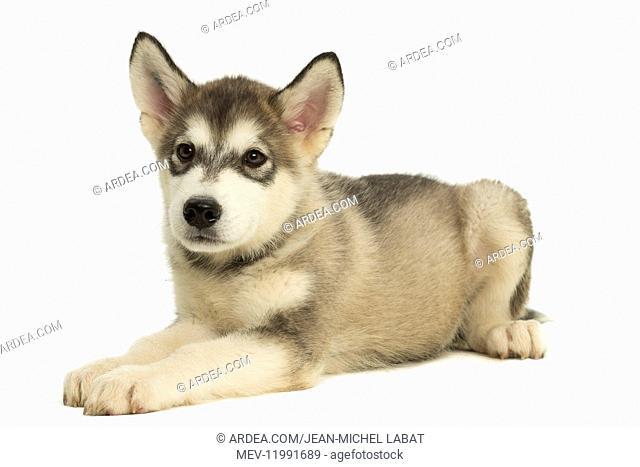 Malamute Dog, puppy