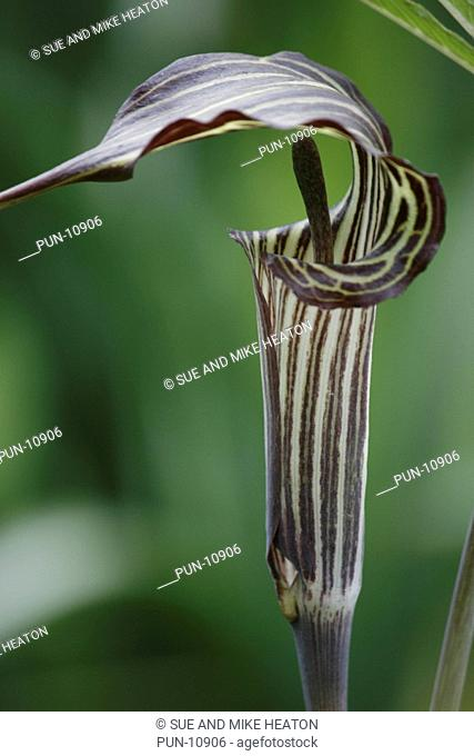 Close-up of a cobra lily Darlingtonia californica in a bog garden in June
