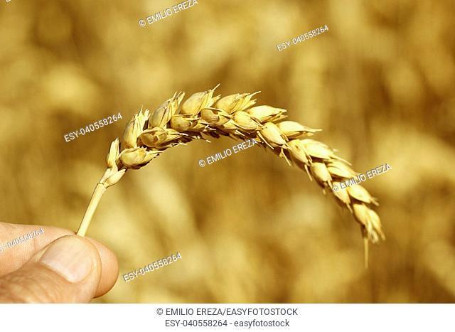 Holding a wheat ear