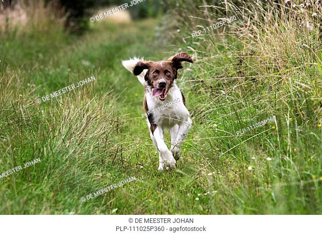Drentsche Patrijshond / Dutch Partridge Dog / Drent spaniel type hunting dog running in field, the Netherlands