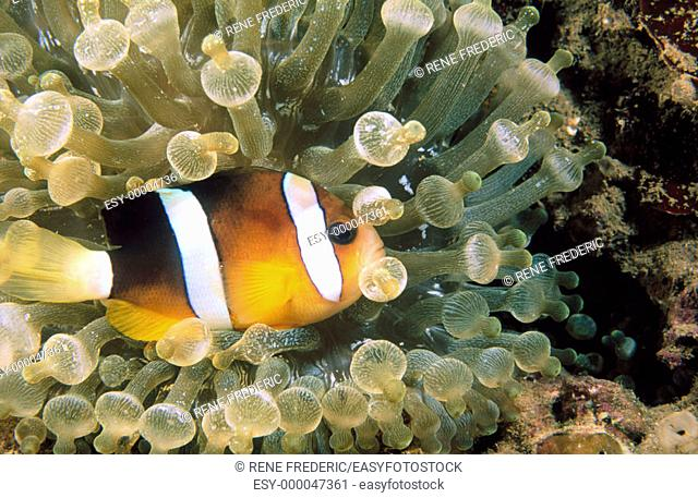 Anemonefish (Amphiprion clarkii). Indo-Pacific Ocean
