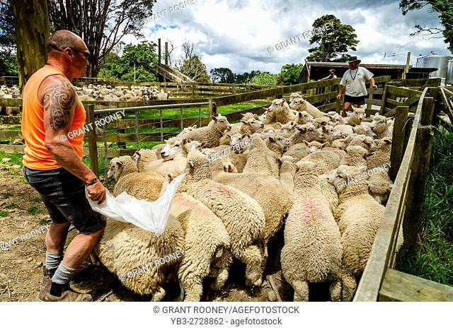 Sheep Are Moved Into A Sheep Pen In Readiness To Be Sold, Sheep Farm, Pukekohe, New Zealand
