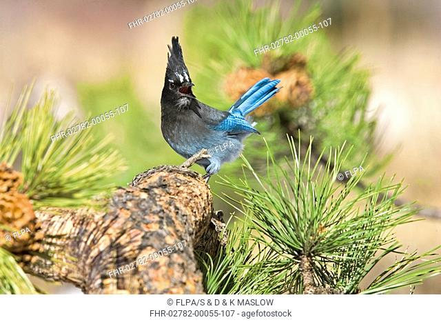 Steller's Jay Cyanocitta stelleri adult, calling, perched on pine branch, U S A