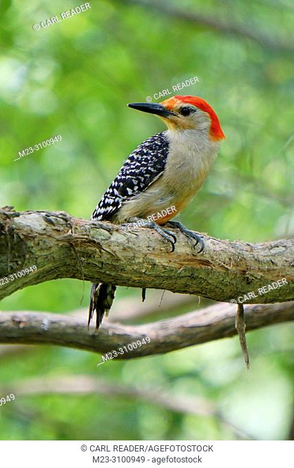 A perched red-bellied woodpecker, Melanerpes carolinus, Pennsylvania, USA