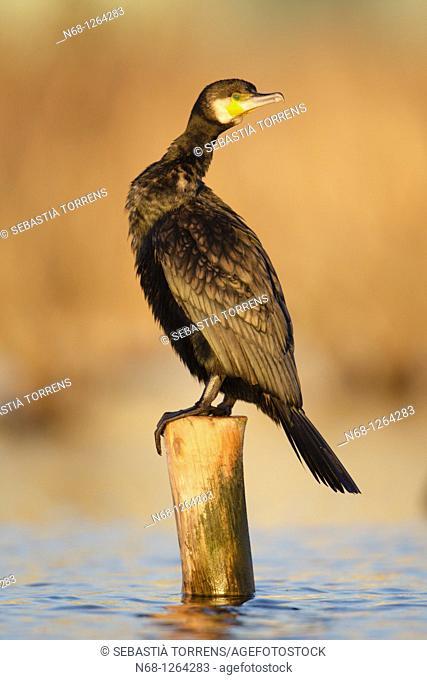 Cormorant Phalacrocorax carbo at S'albufera, Majorca, Spain