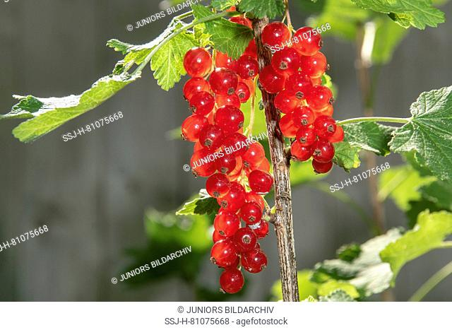 Red Currant (Ribes rubrum), ripe fruit on a bush. Germany
