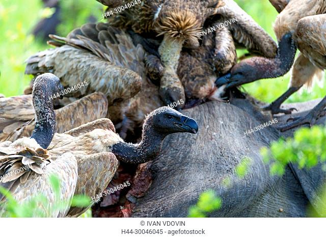 White-backed Vulture (Gyps africanus), Tanzania, East Africa