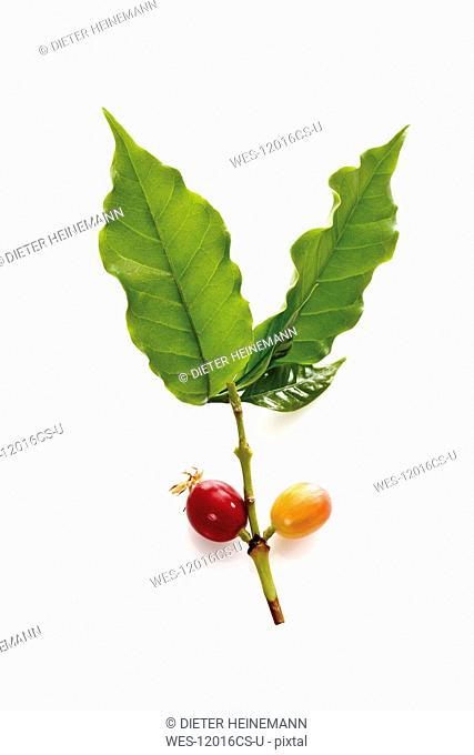 Coffee plant coffea arabica with ripe and unripe berries, elevated view