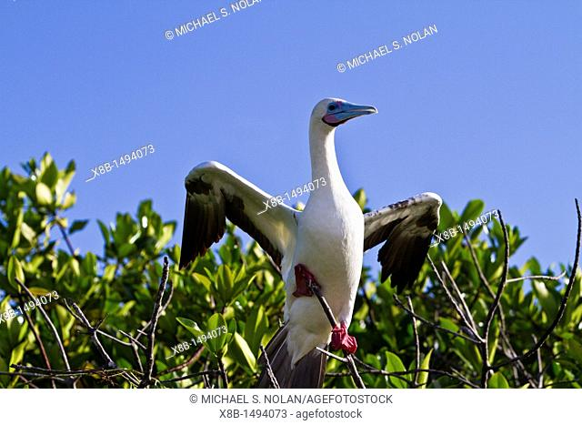 Adult red-footed booby Sula sula in the Galapagos Island Archipelago, Ecuador  MORE INFO Red-footed boobies are the smallest of all boobies  In the Galapagos...