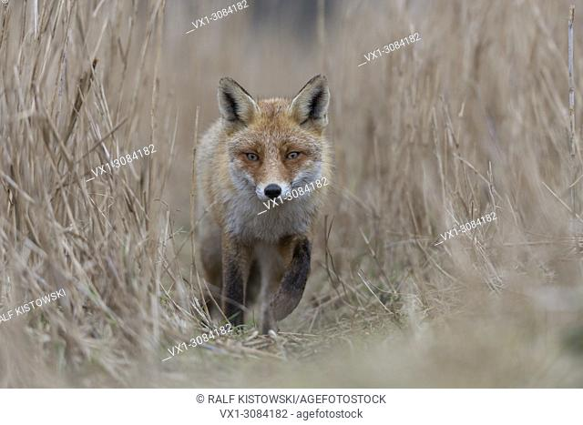 Red Fox ( Vulpes vulpes ) coming closer on a fox path through high, dry reed grass, low point of view, frontal shot, wildlife, Europe