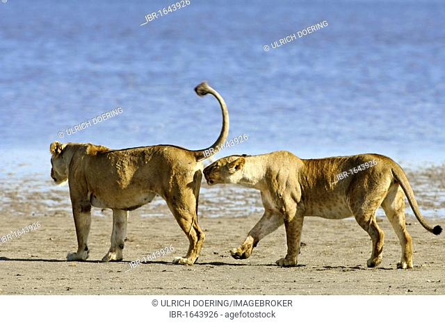 Two lionesses (Panthera leo), one sniffing the other's genital area, Lake Ndutu, Ngorongoro Crater, UNESCO World Heritage Site, Tanzania, Africa