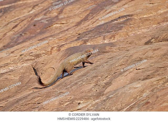 Asia, India, Karnataka, Sandur Mountain Range, Ruddy mongoose (Herpestes smithii)