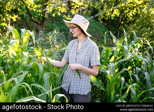 young female farmer takes care of the growing corn crop